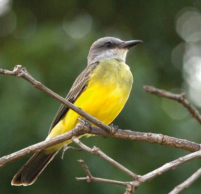 Suiriri - Tropical Kingbird - Tyrannus m