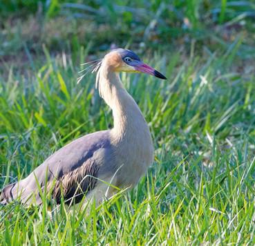Maria-faceira - Whistling Heron - Syrigm