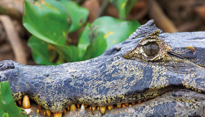 Jacaré_-_Pantanal_Caiman_-_Caiman_yaca