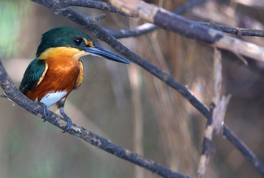 Martinho - American Pygmy Kingfisher - C