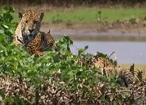 Living with the jaguar.jpg