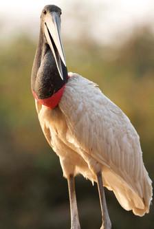 Tuiuiu_-_Jabiru_Stork_-_Jabiru_mycteria.