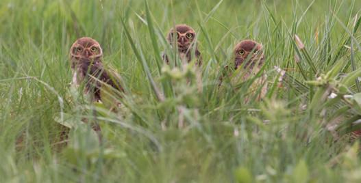 Coruja-buraqueira - Burrowing Owl - Athe