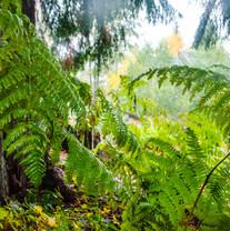 Oregon Ferns
