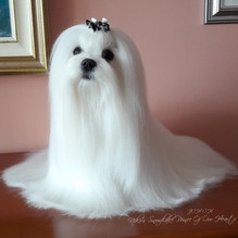 """CH JCH Niko's Snowflake Prince Of Our Hearts """"David"""""""