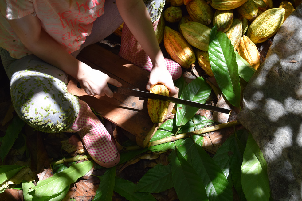 Cacao Harvest