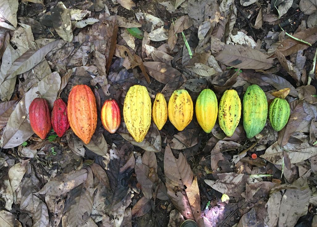 Cacao Fruit Rainbow