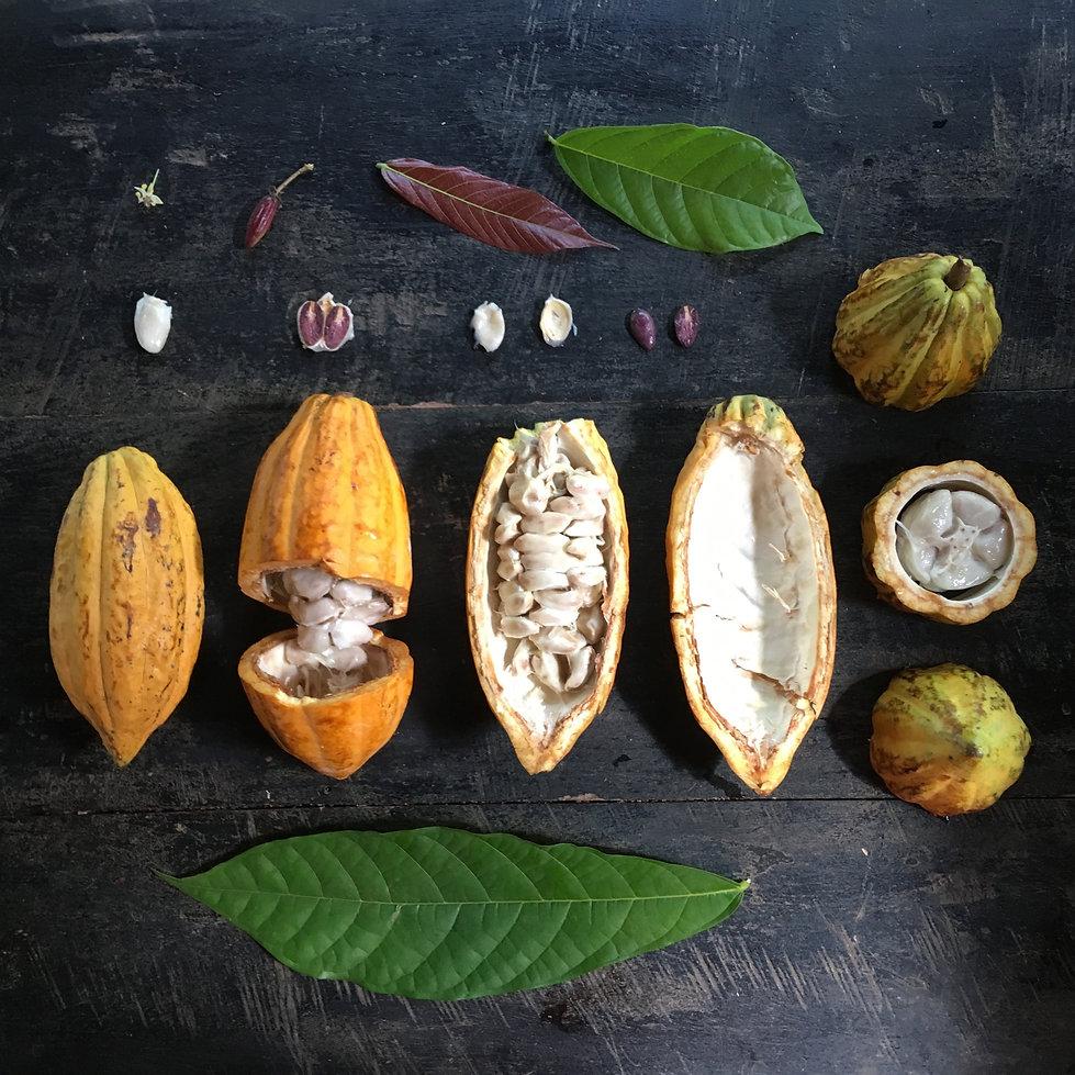 Cacao Botanical