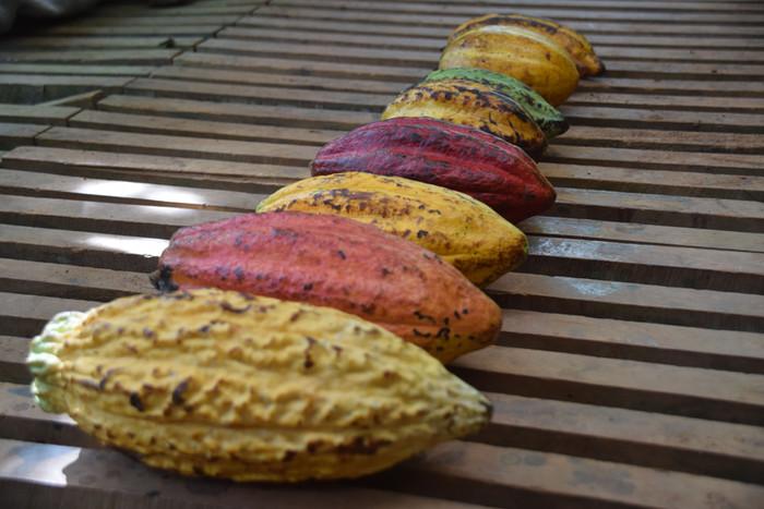 Coloured Cacao Pods