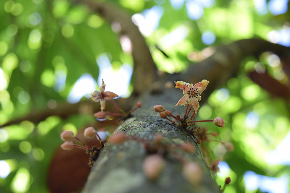 cacao flower original