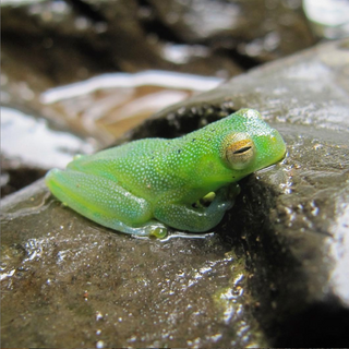 Costa Rican Glass Frog