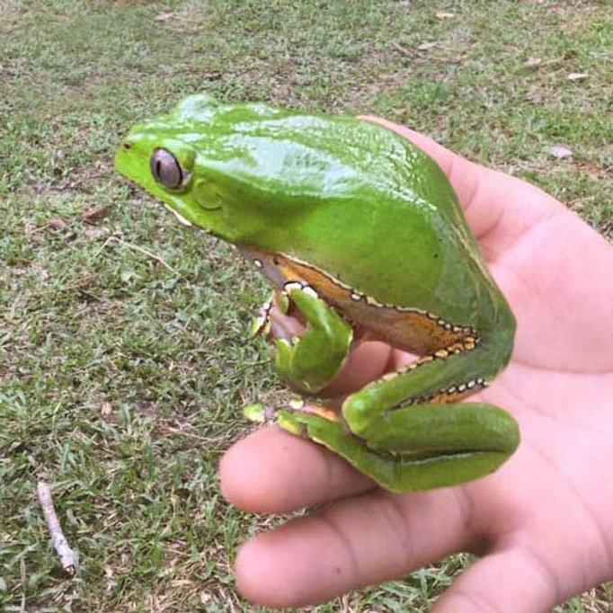 kambo-frog-kambo-rainforest-healing-cent