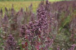 quinoa-897678_1920