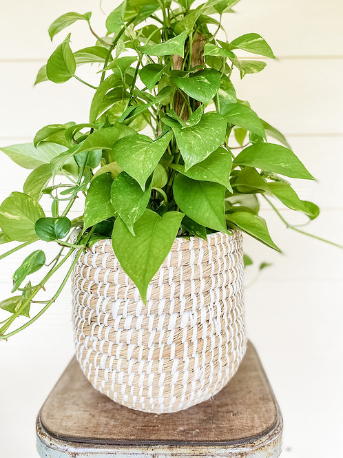 "8"" Totem Golden Pothos in Tejida Basket"
