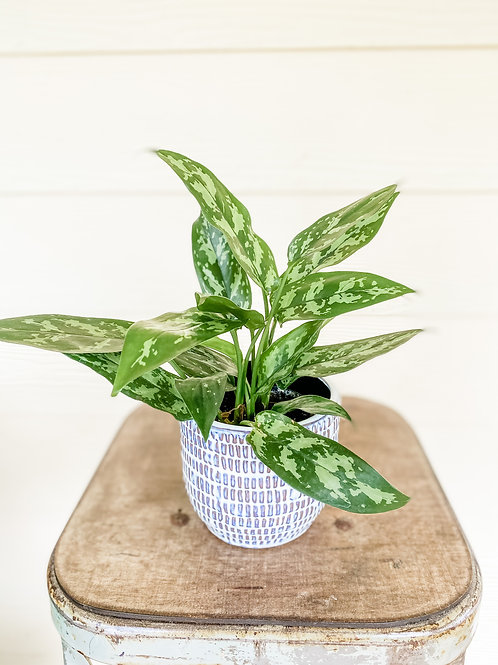 "4"" Aglaonema in a Jupiter Ceramic Pot"