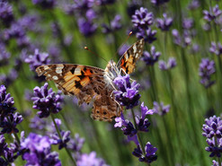 lavender-butterfly_wix.jpg