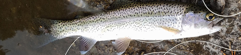 weaver trout cropped.jpg