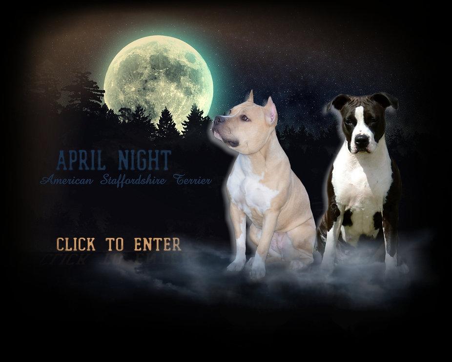 Domowa hodowla Amstaff April Night FCI