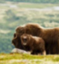 The MuskOx (Norway).jpg