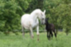 Elevage cheval andalou PRE, acheter cheval espagnol