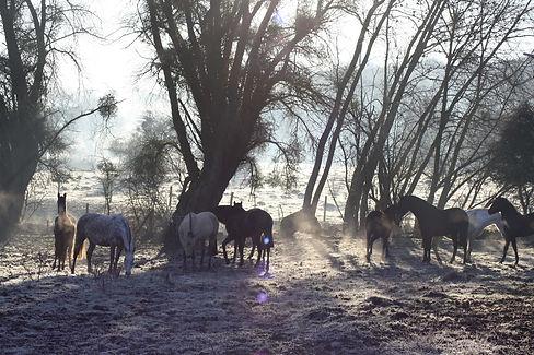 chevaux pure race espagnole