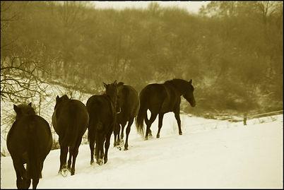 acheter cheval espagnol PRE