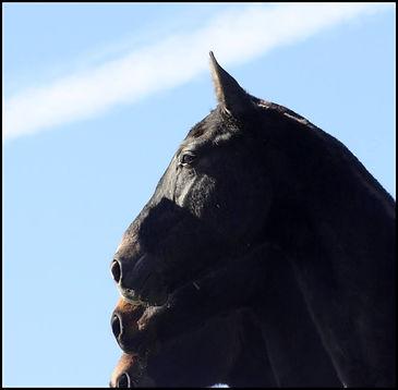 cheval PRE, cheval pure race espagnol