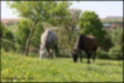 acheter cheval espagnol PRE, cheval pure race espagnol à vendre