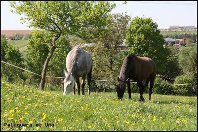 acheter cheval espagnol PRE, cheval pure race espagnol
