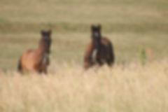 acheter cheval espagnol