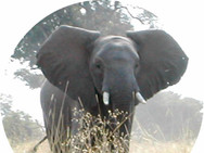 Elephant, rather Close!