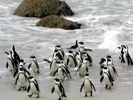 Penquins Surf.