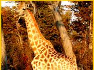 Giraffe 2002.