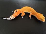 Leopardgecko Electric Tangerine männlich, leopardgecko kaufen,leopardgecko-guru