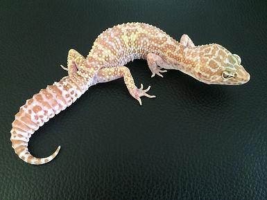 Leopardgecko Nachzuchten, Leopardgecko kaufen, Leopardgecko available, Leopardgecko abzugeben, Leopardgecko hatchling, leopardgecko-guru