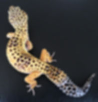 Leopardgecko High Yellow, Leopardgecko kaufen, Leopardgecko for Sale, Leopardgecko abzugeben, Leopardgecko available, leopardgecko-guru