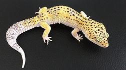Leopardgecko Giant White & Yellow Eclipse het. Tremper Albino, leopardgecko-guru, leopardgecko kaufen, leopardgecko available, leopardgecko züchten
