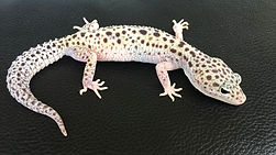 LeopardgeckoWhite & Yellow Gem Snow Eclipse, leopardgecko-guru, leopardgecko kaufen, leopardgecko available, leopardgecko züchten