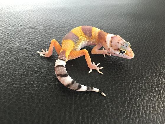 (Giant) White & Yellow het. Raptor - ID: Wi_5