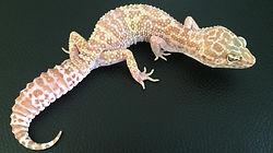 Leopardgecko Phantom weiblich, leopardgecko-guru, leopardgecko kaufen Berlin