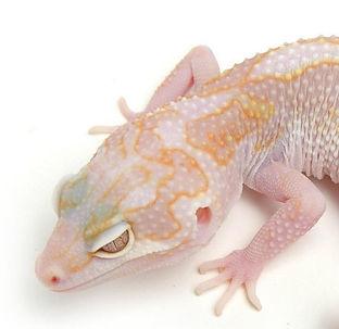 Leopardgecko Phantom, Hypo TUG Snow Tremper Albino Bold Stripe, leopardgecko-guru, leopardgecko kaufen, leopardgecko available, leopardgecko züchten