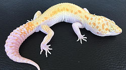Leopardgecko White & Yellow Pastel Raptor, leopardgecko-guru, leopardgecko kaufen, leopardgecko available, leopardgecko züchten berlin