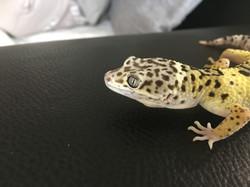 Lemon Frost, leopardgecko kaufen 2.JPG