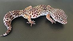 Leopardgecko Goblin, Hypo TUG Snow Tremper Albino Eclipse, leopardgecko-guru, leopardgecko kaufen, leopardgecko available, leopardgecko züchten berlin
