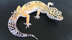 Lepardgecko pure White & Yellow, leopardgecko-guru, leopardgecko kaufen, leopardgecko available, leopardgecko züchten berlin