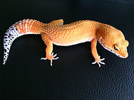 Leopardgecko Electric Tangerine Firefox Cross, Carrot tail, leopardgecko-guru, leopardgecko kaufen, leopardgecko available, leopardgecko züchten