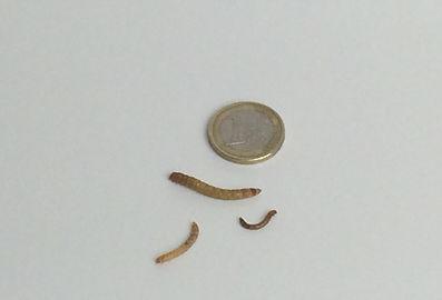 Mehlwurm, Mehlwürmer Leopardgecko, Futtermittel Leopardgecko, leopardgecko-guru