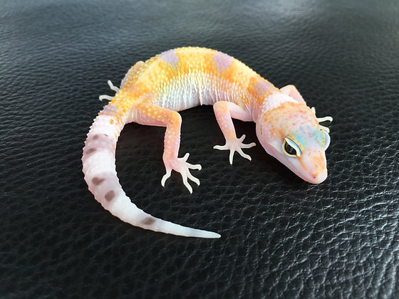 (Pastel) White & Yellow het. Raptor - ID: Wi_3