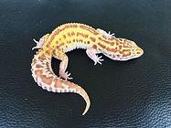 Lepardgecko Radar, leopardgecko-guru, leopardgecko kaufen, leopardgecko available, leopardgecko züchten