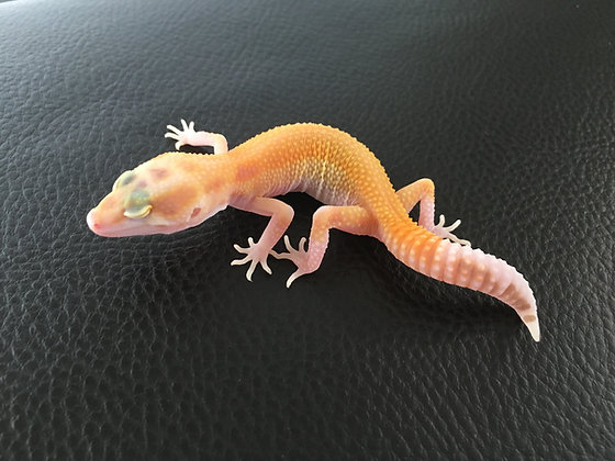 (Giant) White & Yellow Pastel Raptor- ID: Pa_5